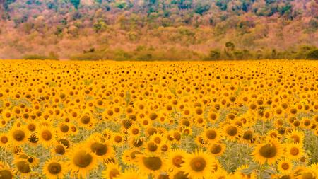 Full bloom sunflower field beauty of natural landscape background 免版税图像