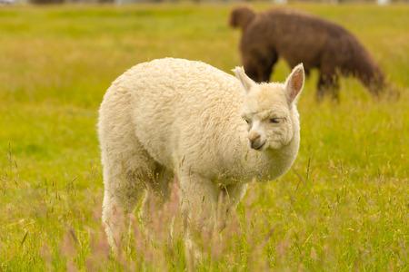 Cute Alpaca over green glass, farm animal Stockfoto