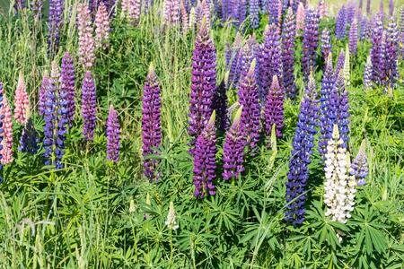 Full bloom purple flower close up, New Zealand natural landscape background