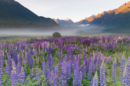 Beautiful full bloom lupine flower with mountain background, New Zealand natural landscape background