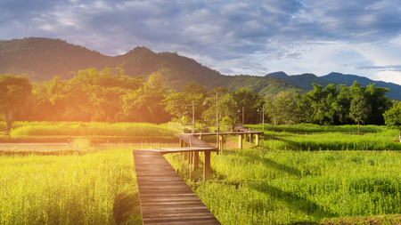 Wooden walking path over rice field with mountain background