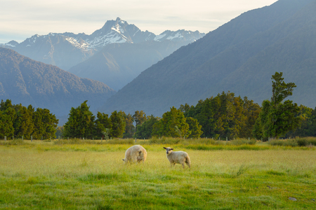Sheep runing on green glass with beautiful mountain natural landscape background