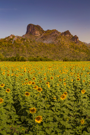 Full bloom sunflower field with mountain background