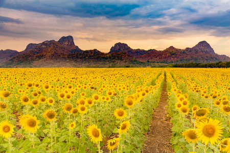 Giant sunflower field with mountain and blue sky background Stockfoto