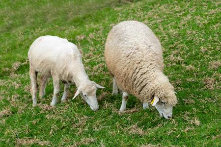Baby Sheep eating green glass, farm animal on ground