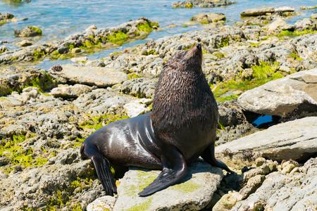 Baby seal playing on seacoast, marine life animal Stockfoto