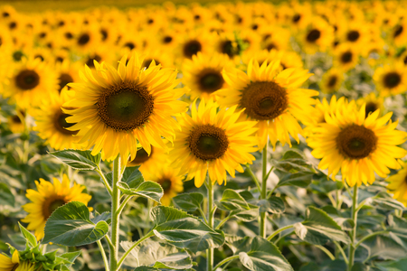 Full bloom sunflower filed close up, agricuture ground, natural landscape background Stockfoto