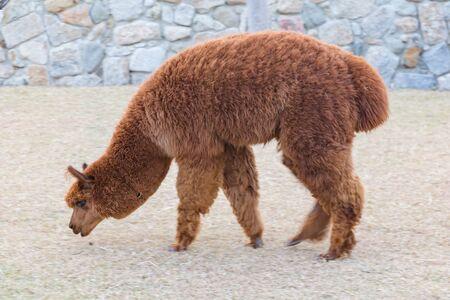 Brown baby alpaca slow walking, farm animal