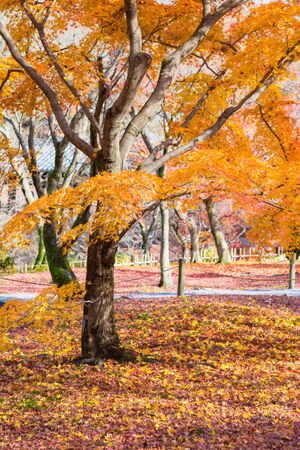 Orange tree leaves in public park, Japan autumn season natural landscape Reklamní fotografie