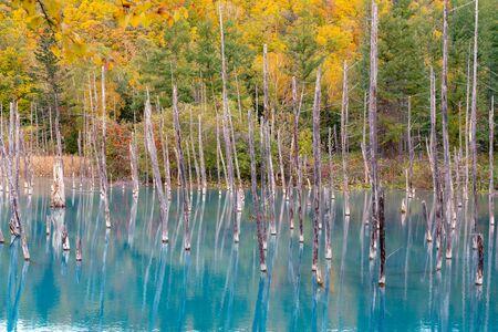 Furano Blue Pond water lake with falling multiple colour tree background, Hokkaido Japan
