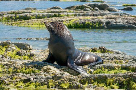 Sea Lion, Seal playing on coastline, marine life animal Reklamní fotografie