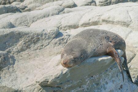 Cute sleeping sea lion animal over rock on sea coast