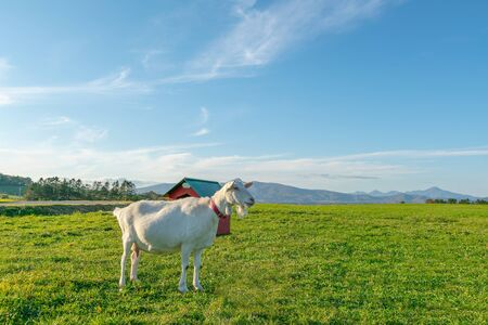 Baby sheep standing on green glass with blue sky natural landscape background