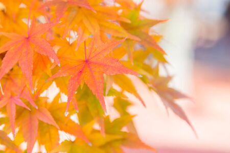 Orange maple leaves close up during autumn season Standard-Bild - 139748179