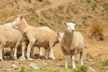 Baby cute sheep standing on dry glass, farm animal Standard-Bild - 139748186