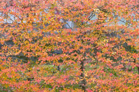 Beautiful orange leaved on the tree, Autumn season natural landscape background