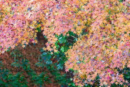 Colour maple leaves during autumn season, Japan natural landscape background