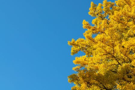 Ginkgo leaves yellow colour during autumn season with clear blue sky natural landscape background