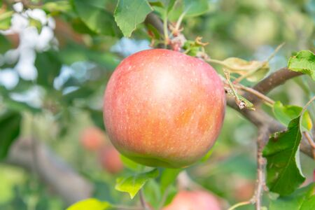 Red big apple on tree, selected focus