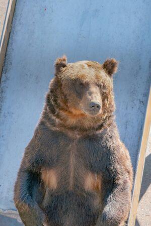 Standing black bear, wildlife animal in zoo