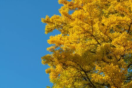 Ginko yellow leaves during autumn season with clear blue sky
