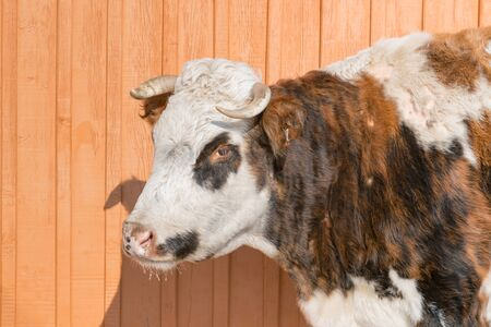 Close up Cow looking with wooden wall background Archivio Fotografico