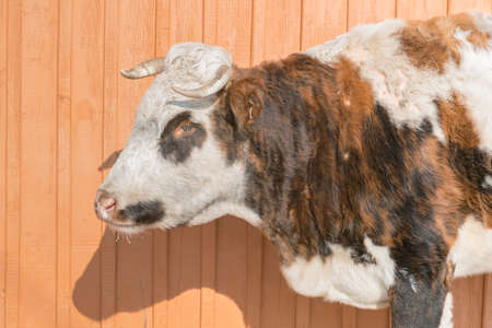 Cow standing on wooden wall, close up farming animal