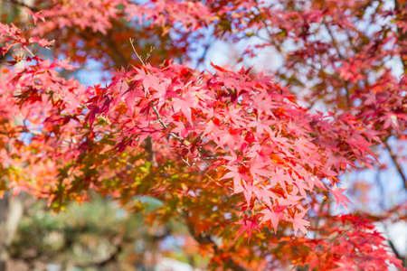 Beauty red autumn maple leaves on tree