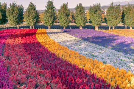 Rainbow flower in a row gardening during autumn season, Hokiado Japan landscape