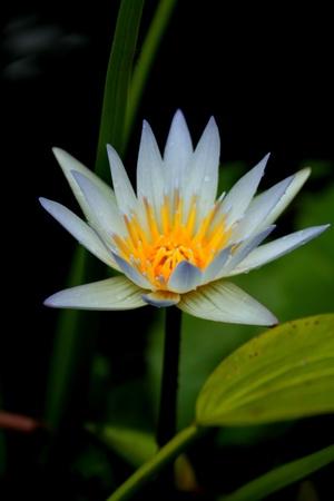 lotus Stock Photo - 9858667