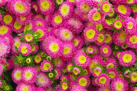 Colorful pink Aster flowers  photo
