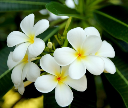 Frangipani flower Stock Photo