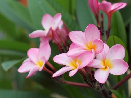 plumeria flower: Frangipani flower Stock Photo