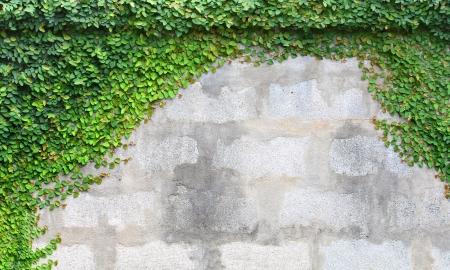 wall ivy: La planta de enredadera verde en una pared