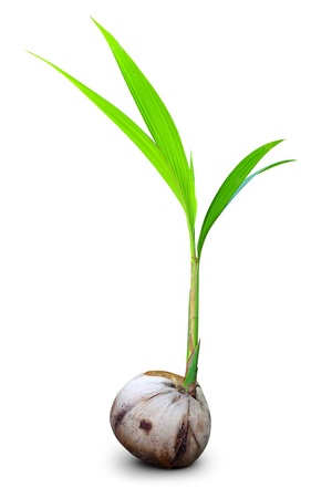 coconut seedlings: Sprout of coconut tree isolated  Stock Photo