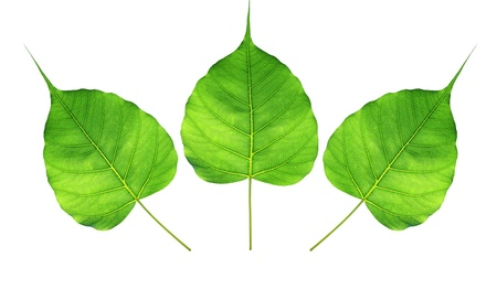 Green bodhi leaf  isolated on white background photo