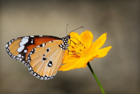Monarch butterfly  seeking nectar on a flower photo
