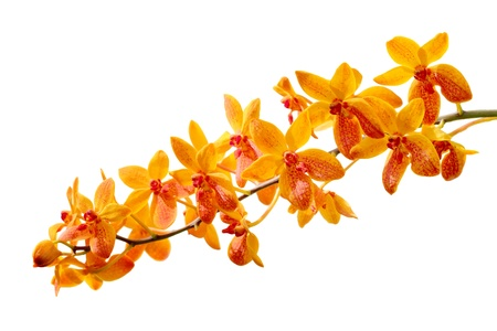 yellow orchid: orchid isolated on white background Stock Photo