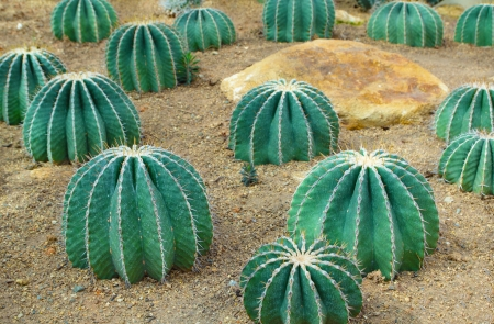 Cactus grows in sandy soil photo