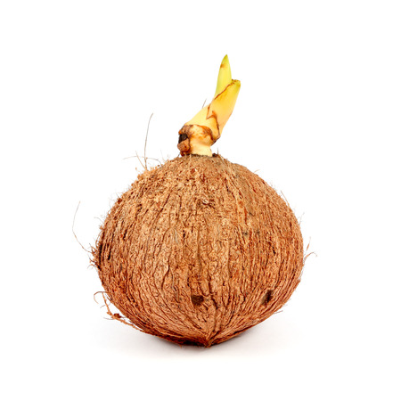 coconut seedlings: Sprout of coconut tree isolated