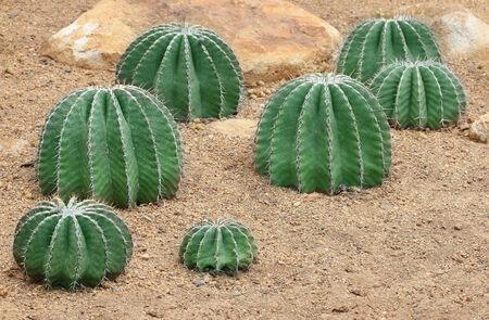 sandy soil: Cactus cresce nel terreno sabbioso