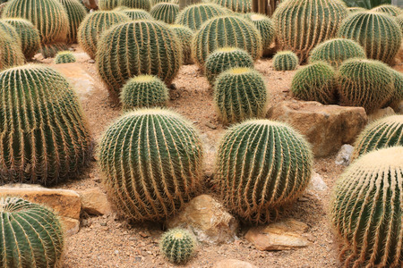 suelo arenoso: Cactus crece en suelos arenosos