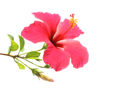 Flowering Hibiscus. Isolated on white. 스톡 콘텐츠