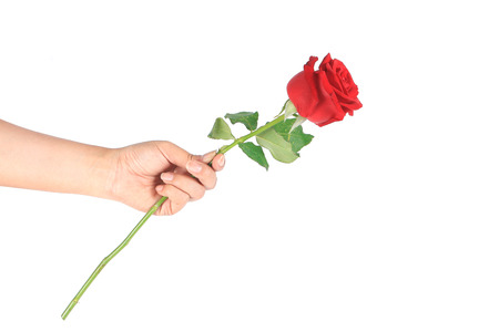 beautiful rose: woman hand holding a red rose bud on a white isolated background Stock Photo