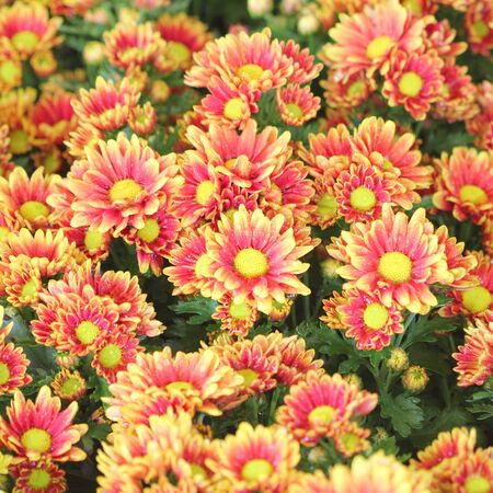 aster flowers: Colorful Aster flowers Stock Photo
