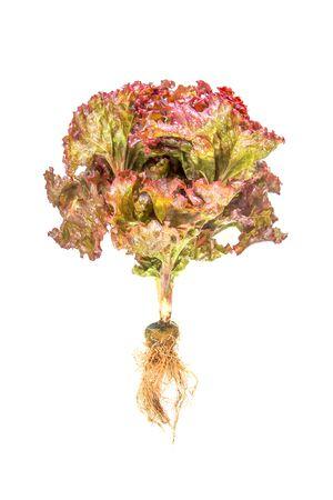 nontoxic: Lettuce nontoxic organic isolated on white Stock Photo