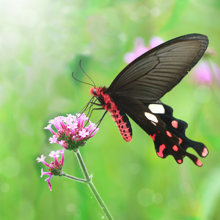 red black butterfly with flower in nature background