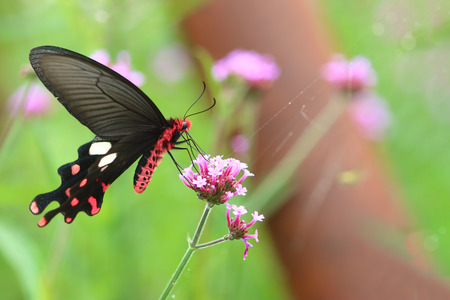 virgaureae: red black butterfly with flower in nature background