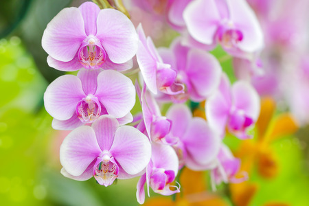 Close-up of pink orchid phalaenopsis colorful background
