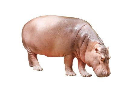 nijlpaard op wit wordt geïsoleerd